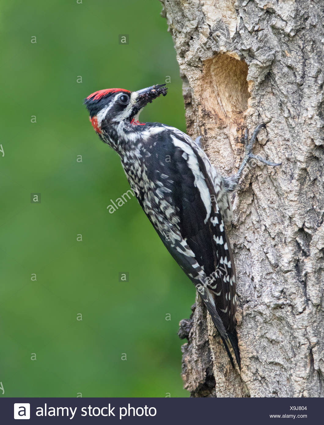 Red-naped Sapsucker, Sphyrapicus nuchalis, looking out of its nest hole in Eastend, Saskatchewan, Canada - Stock Image