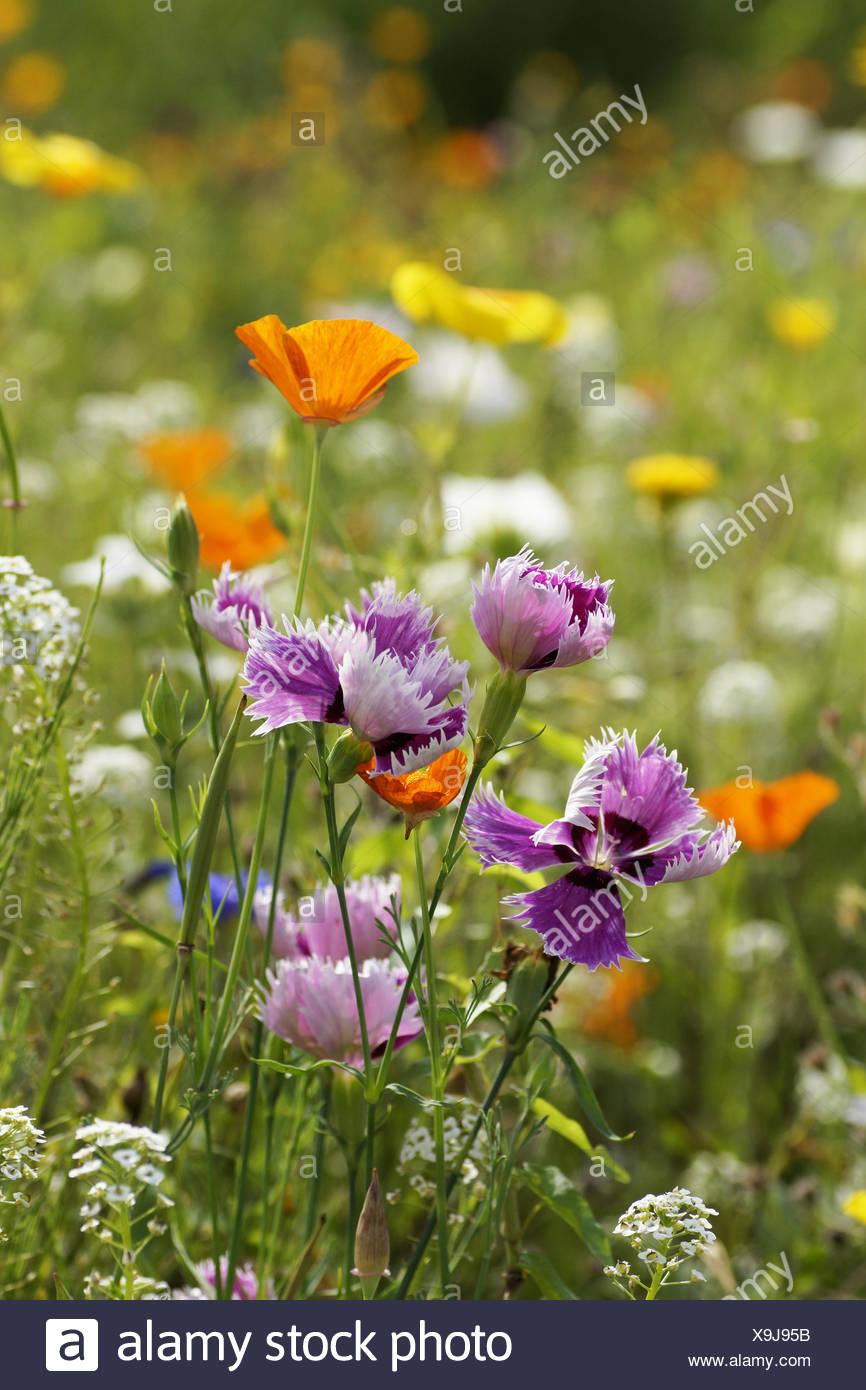 Summerly Flowerfield - Stock Image