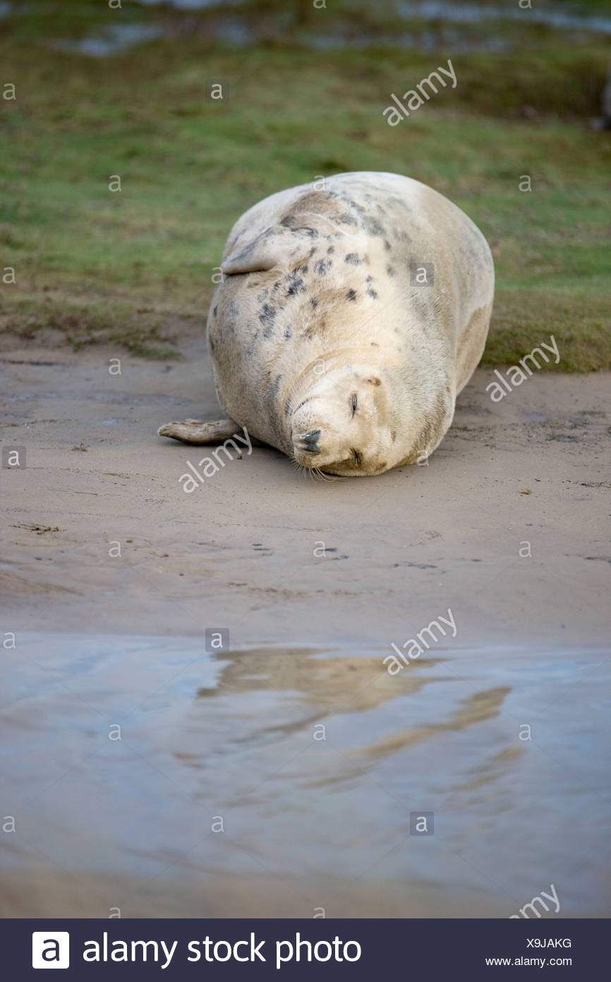 Gray Seal (Halichoerus Grypus), Donna Nook, Lincolnshire, England; Seal Resting On The Ground - Stock Image