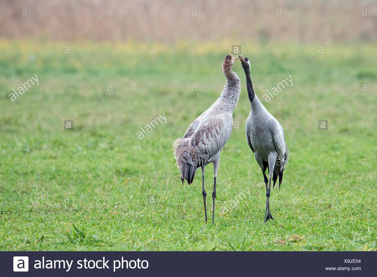 Crane couple on meadow billing - Stock Image