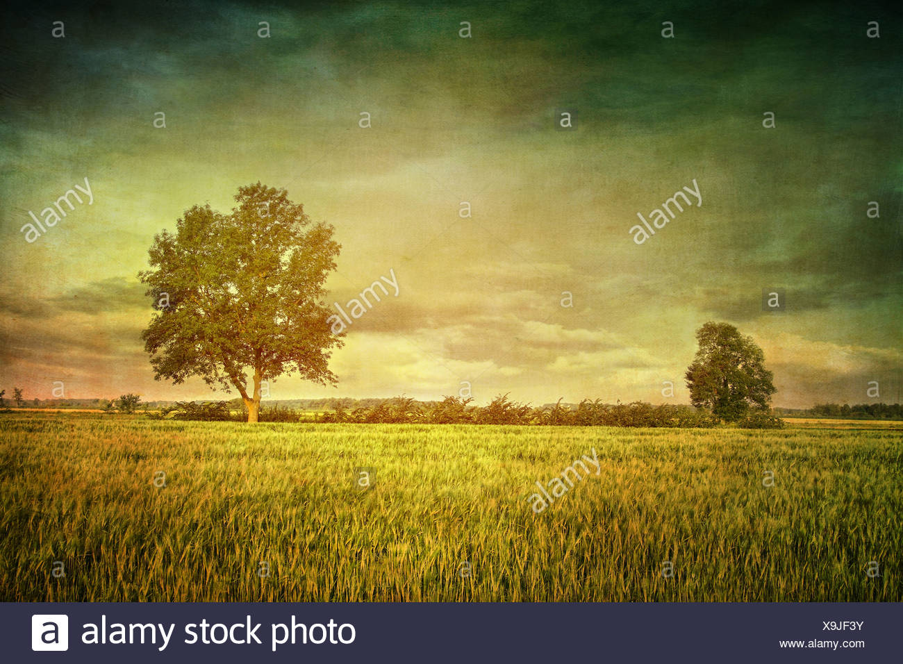 Beautiful summer fields of wheat with dramatic sky - Stock Image