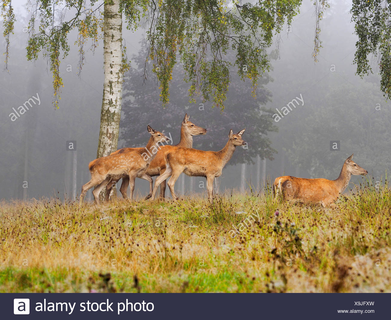 red deer (Cervus elaphus), group of hinds in morning mist in autumn, Germany, Saxony - Stock Image