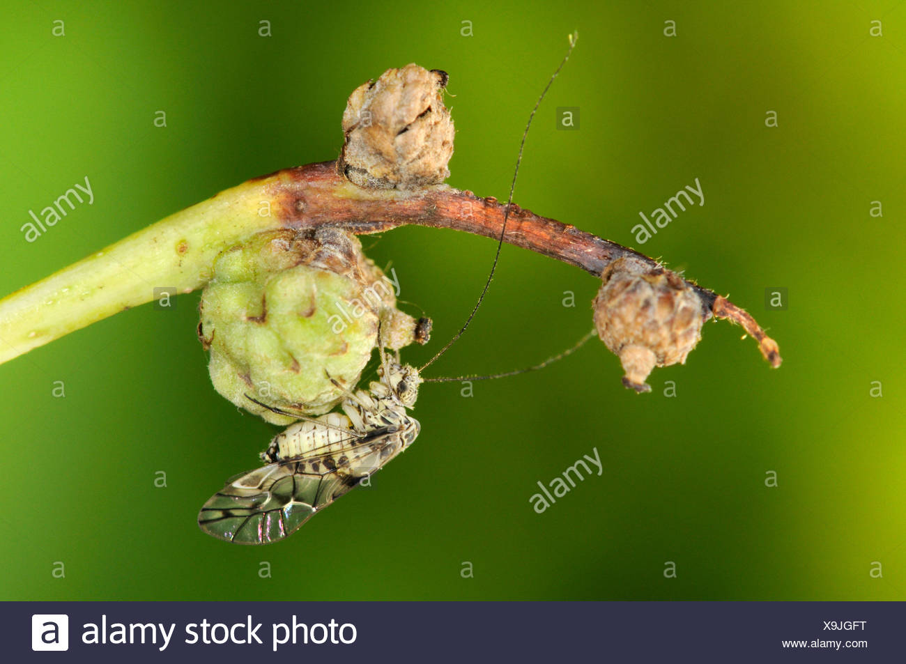 Psocid - Order psocoptera - Stock Image
