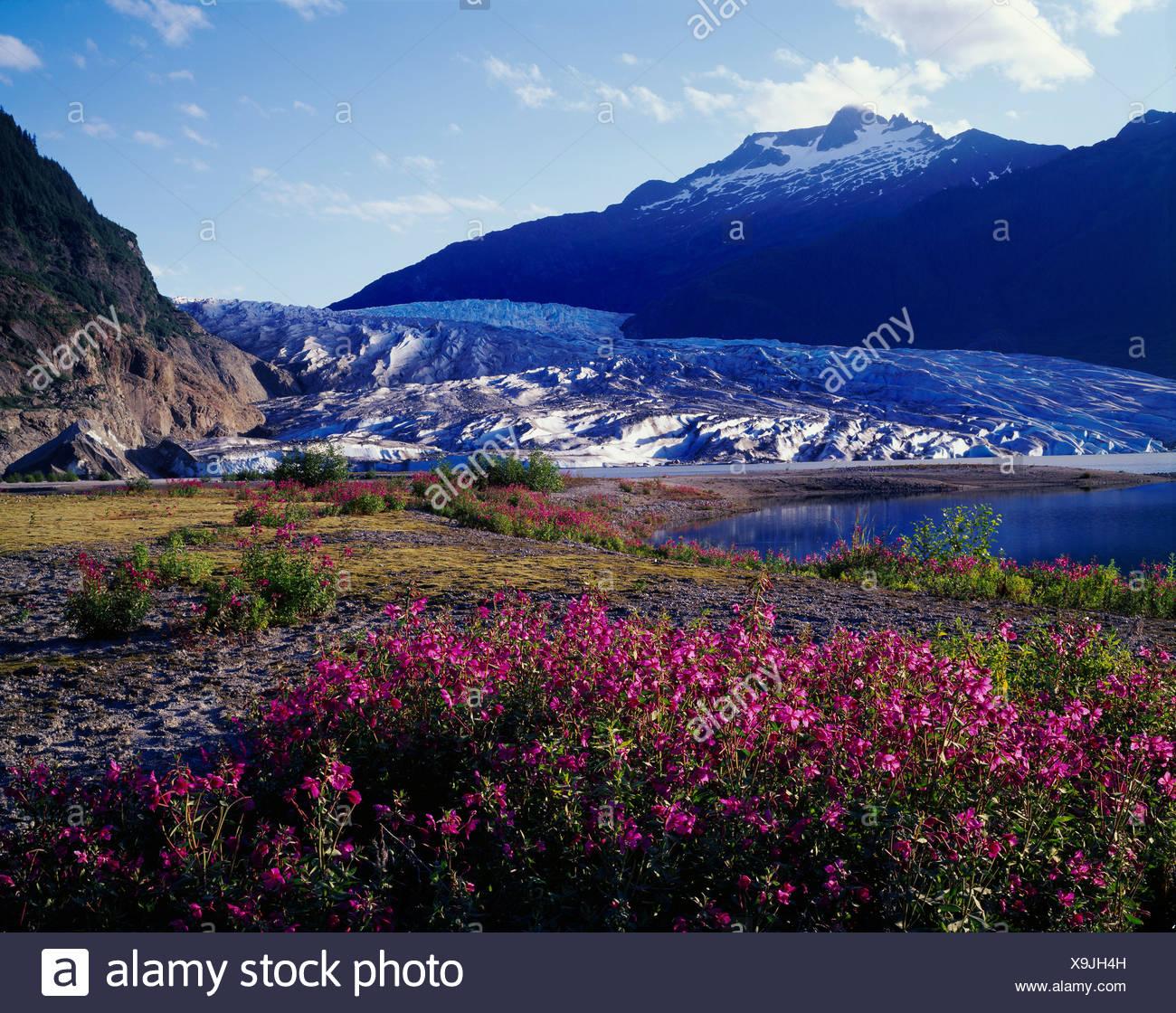 Dwarf fireweed Epilobium latifolium Mendenhall Lake Mendenhall Glacier Tongass National Forest Alaska. - Stock Image