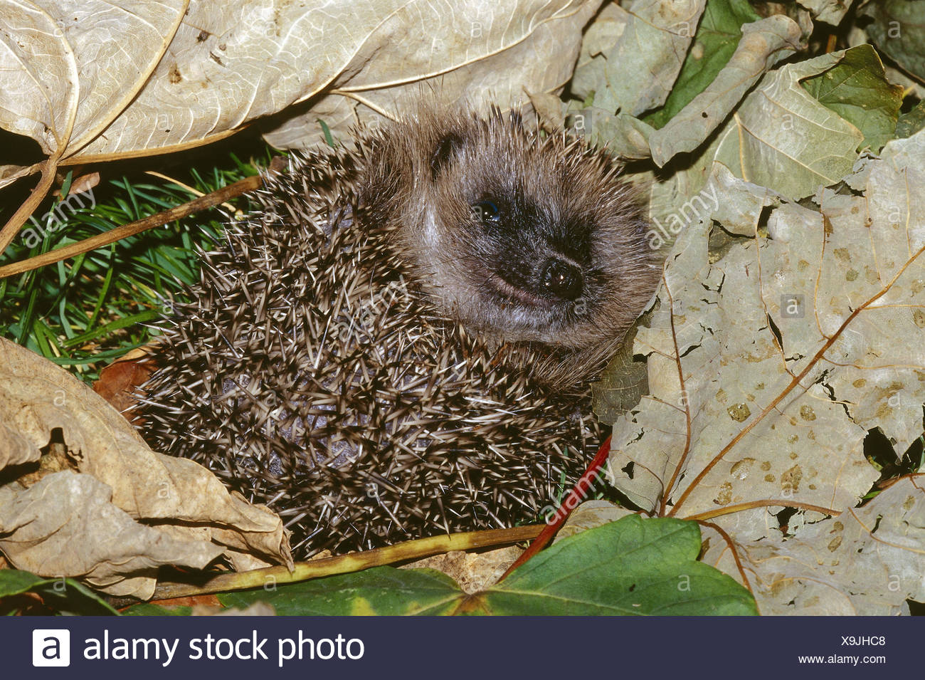 Forest floor, European hedgehog, young animal, Erinaceus europaeus, animals, animal, mammals, mammal, Erinaceidae, insectivore, nocturnal, wood, foliage, leaves, autumn foliage - Stock Image