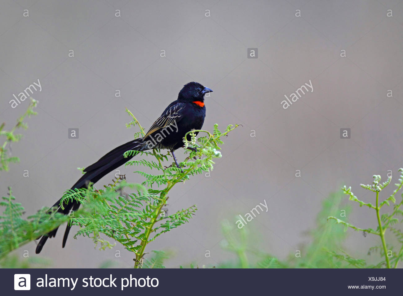 red-collared whydah (Euplectes ardens), male sits on bracken fern, South Africa, Kgaswane Mountain Reserve - Stock Image