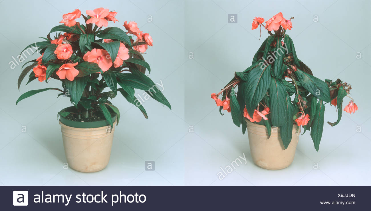 Impatiens New Guinea hybrid pot plant wilted before and ... on old house plant, yellow house plant, withered house plant, twisted house plant, waxy house plant, reviving a wilted plant, dry house plant, dying house plant, dead house plant,