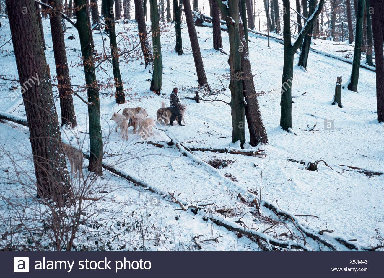 arctic wolf; tundra wolf (Canis lupus albus); pack with Werner Freund in snow; Germany; Saarland; Merzig. Stock Photo