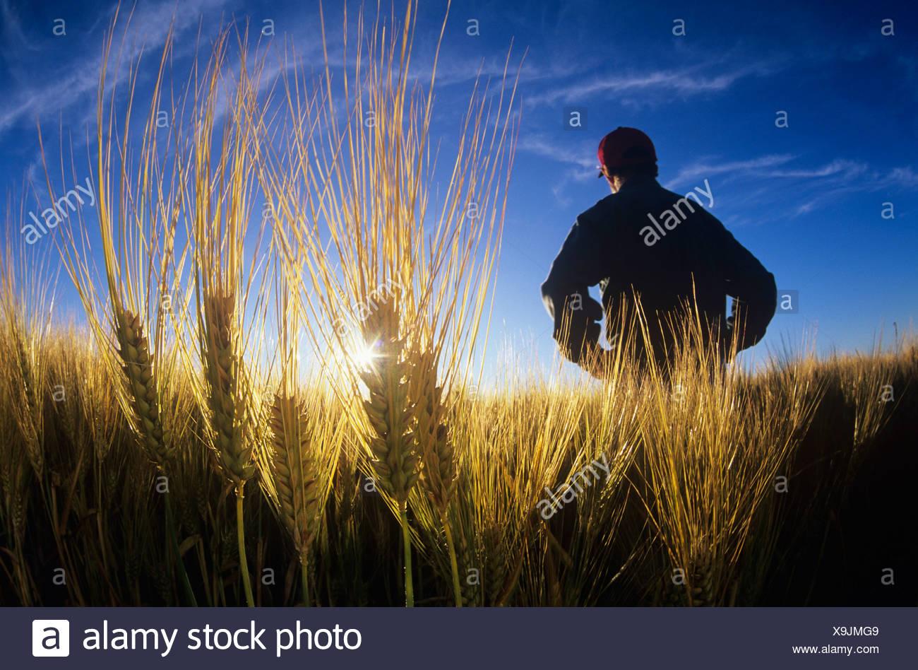 Farmer in maturing barley field, Dugald, Manitoba, Canada. - Stock Image