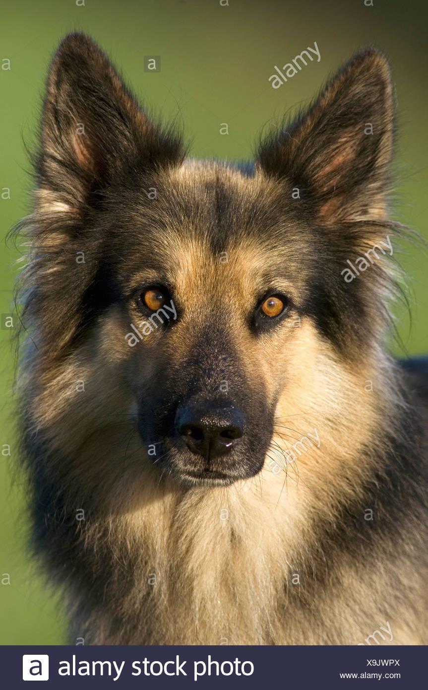 German Shepherd (Alsatian) close-up - Stock Image