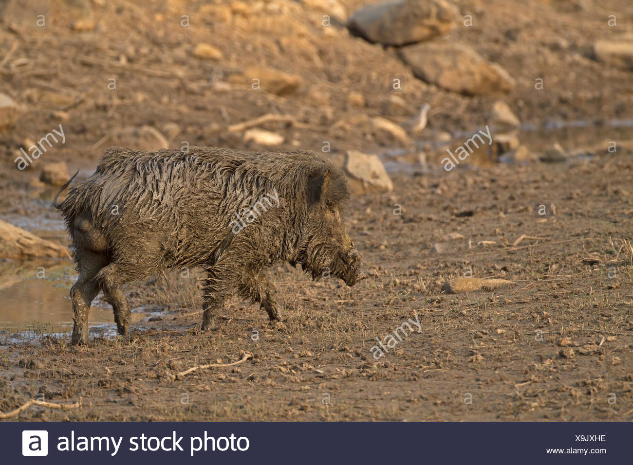 Indian Wild Boar - Sus scrofa cristatus - male - Stock Image