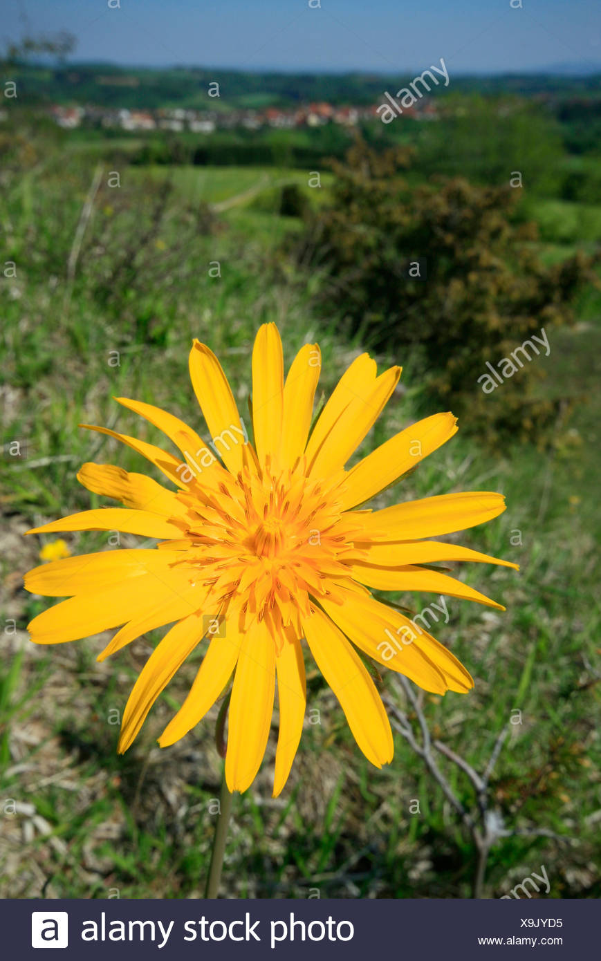 Meadow Salsify or Showy Goat's-beard or Jack-go-to-bed-at-noon (Tragopogon pratensis) in front of green landscape, the Swabian  - Stock Image