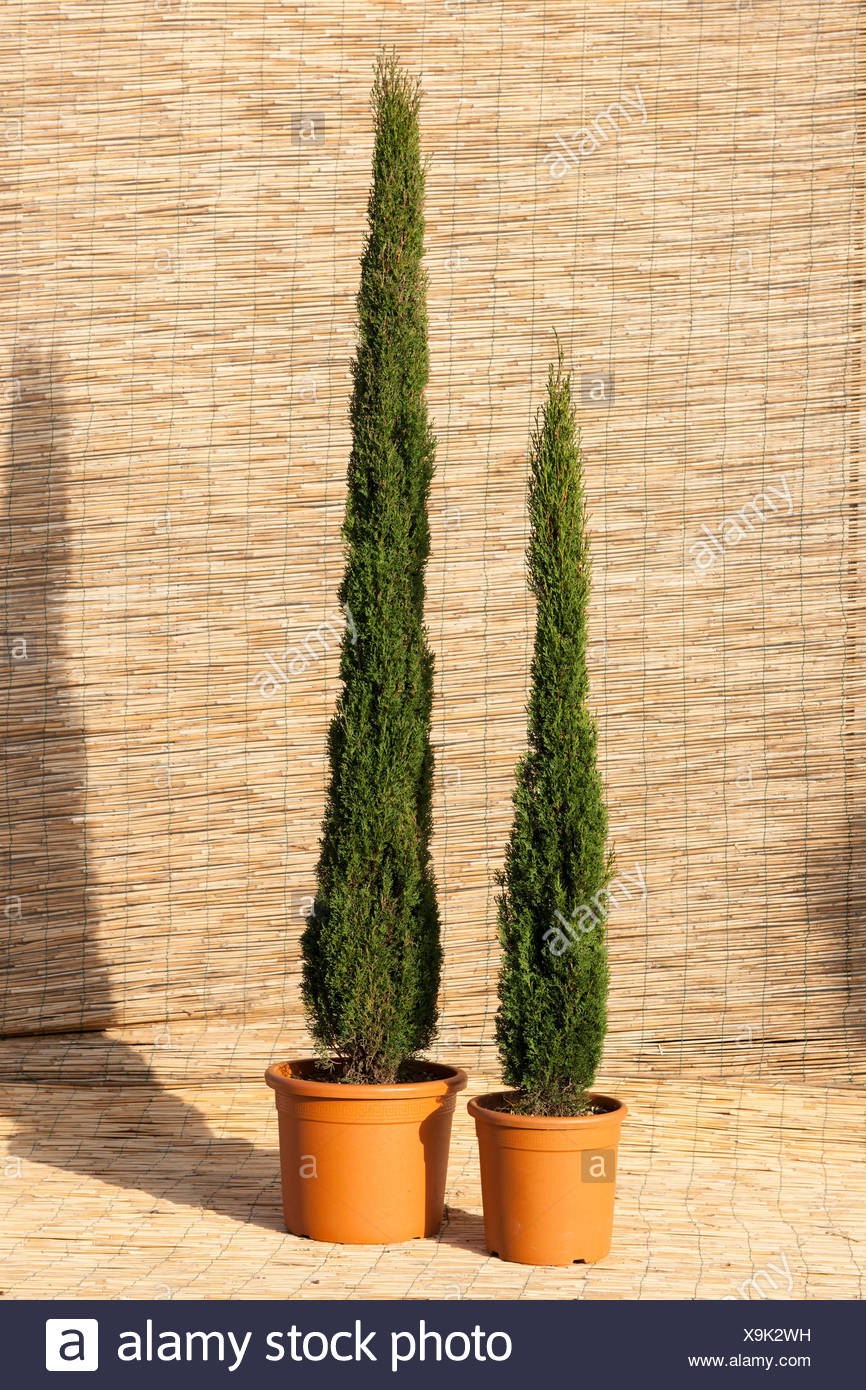 CUPRESSUS SEMPERVIRENS \'TOTEM MIX\' Stock Photo: 281317165 - Alamy