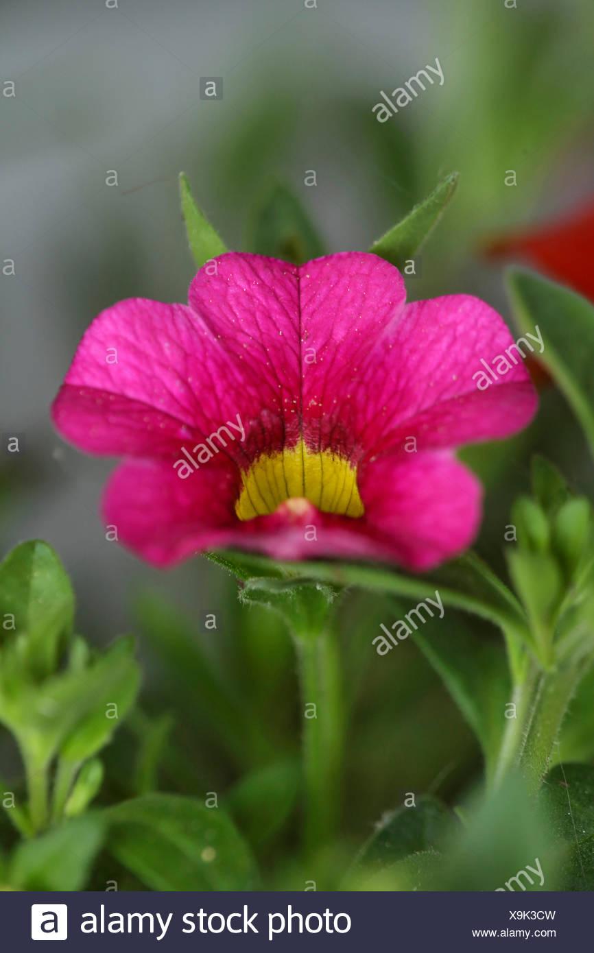 Minipetunie, Mini-Petunie, Zaubergloeckchen, Petunie (Callibrachoa, Callibrachoa-Hybride, Petunia-Hybride, Petunia), Bluete | Mi - Stock Image