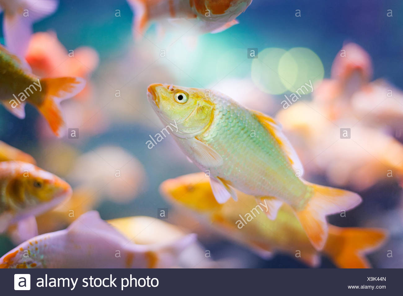 Beautiful fish in colorfully lit tank - Stock Image