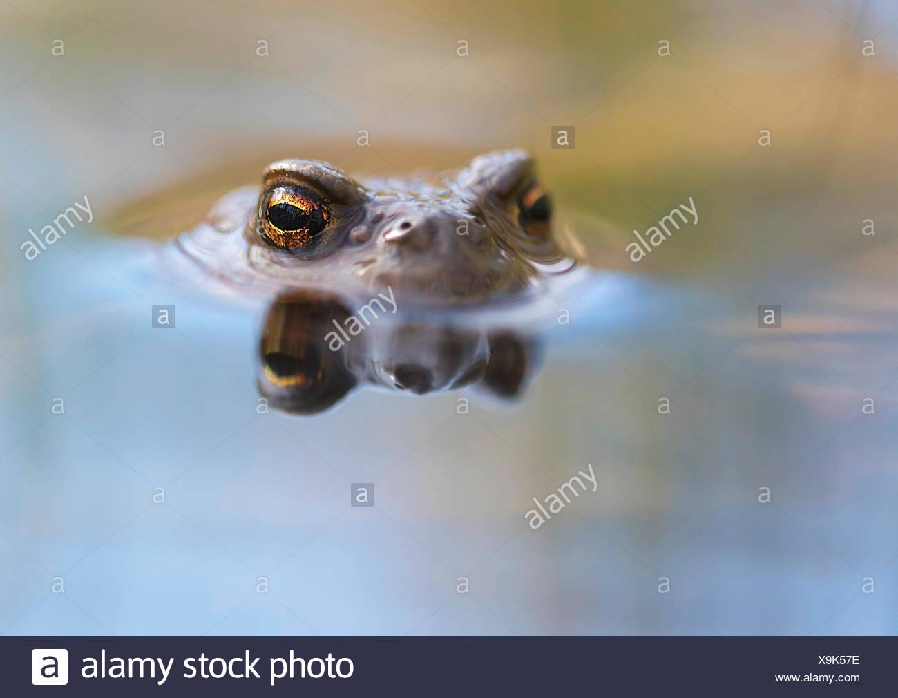 Erdkroete, Erd-Kroete (Bufo bufo), schaut aus dem Wasser, Norwegen | European common toad (Bufo bufo), at water surface, Norway  Stock Photo