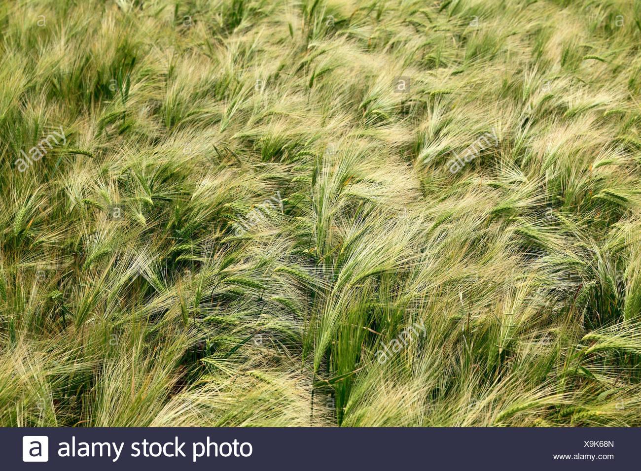 Barley Field, Hordeum vulgare, agriculture crop fields England UK - Stock Image