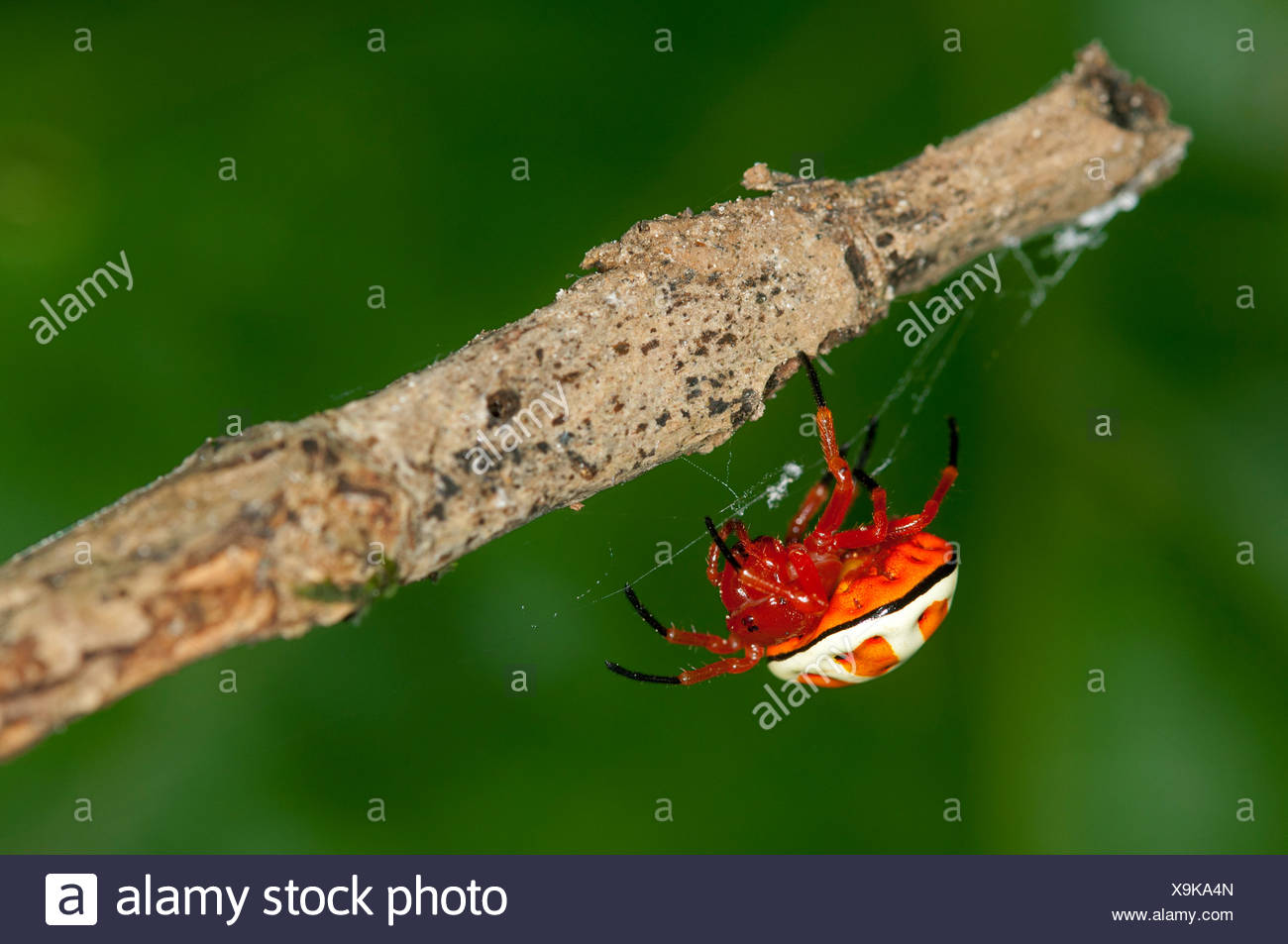 Bolas spider (Encyosaccus sexmaculatus), orb-web spider, Tiputini rain forest, Yasuni National Park, Ecuador, South America - Stock Image