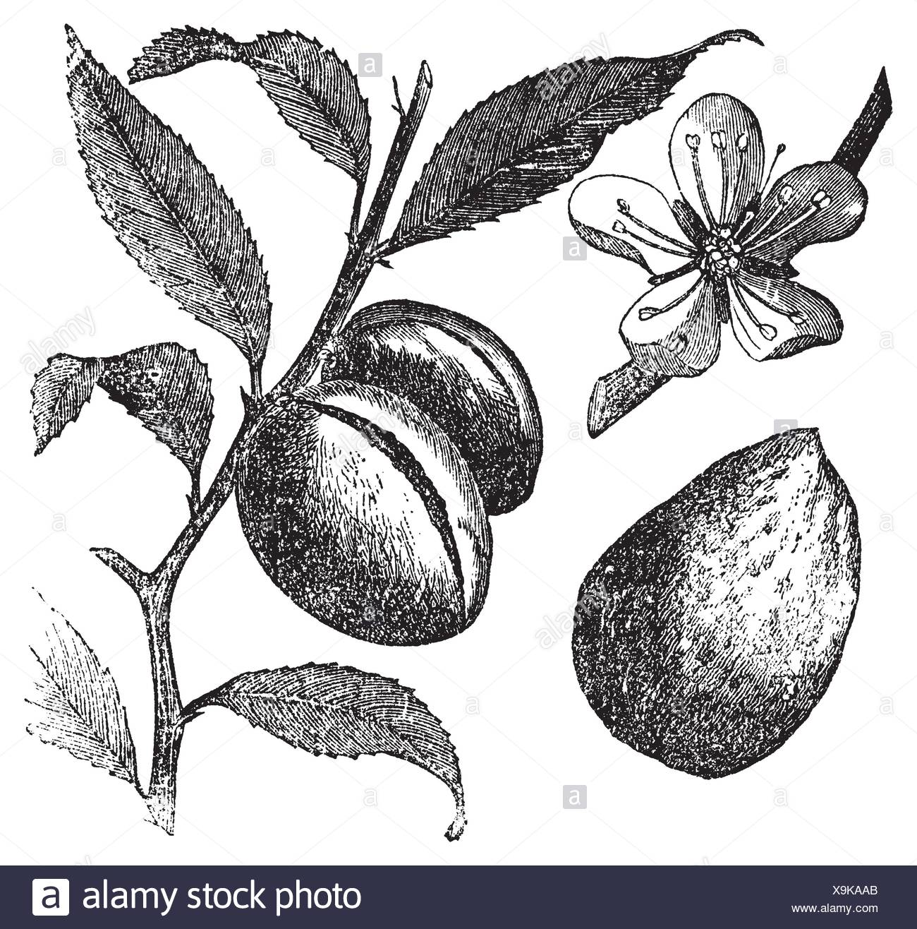 The Almond Tree Or Prunus Dulcis Vintage Engraving Fruit Flower Leaf And Almond Old Engraved Illustration Of An Almond Tree In Vector Isolated Stock Photo Alamy