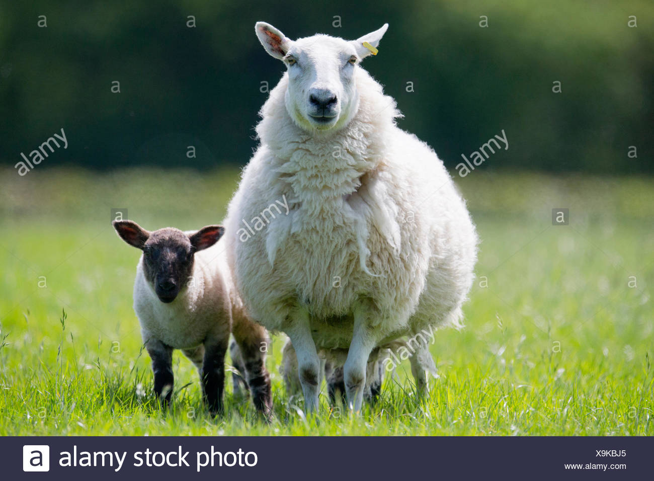 Portrait of sheep and lamb in sunny green spring grass - Stock Image