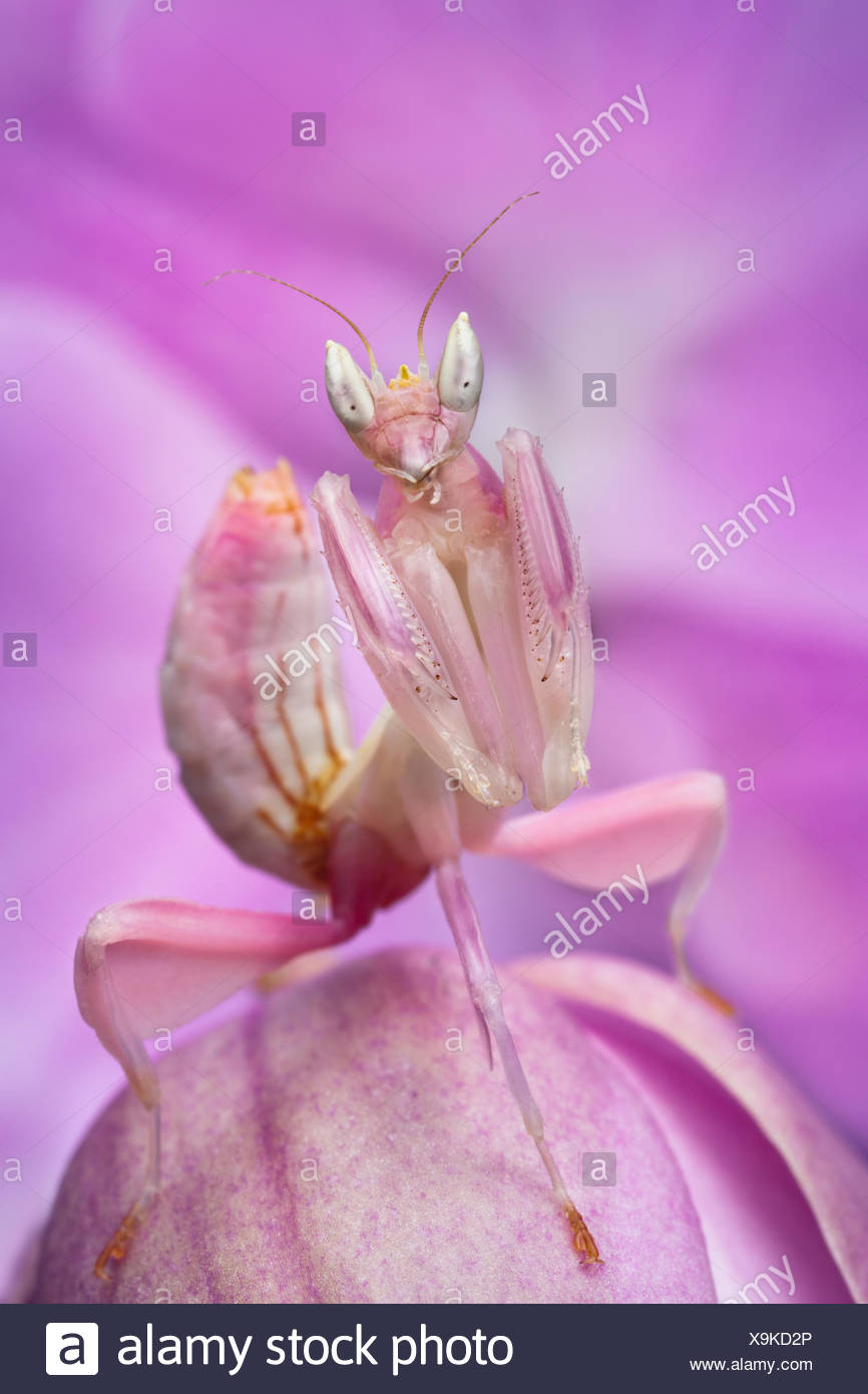 Malaysian Orchid Mantis (Hymenopus coronatus) pink colour morph, camouflaged on an orchid. Captive, from Malaysia. - Stock Image