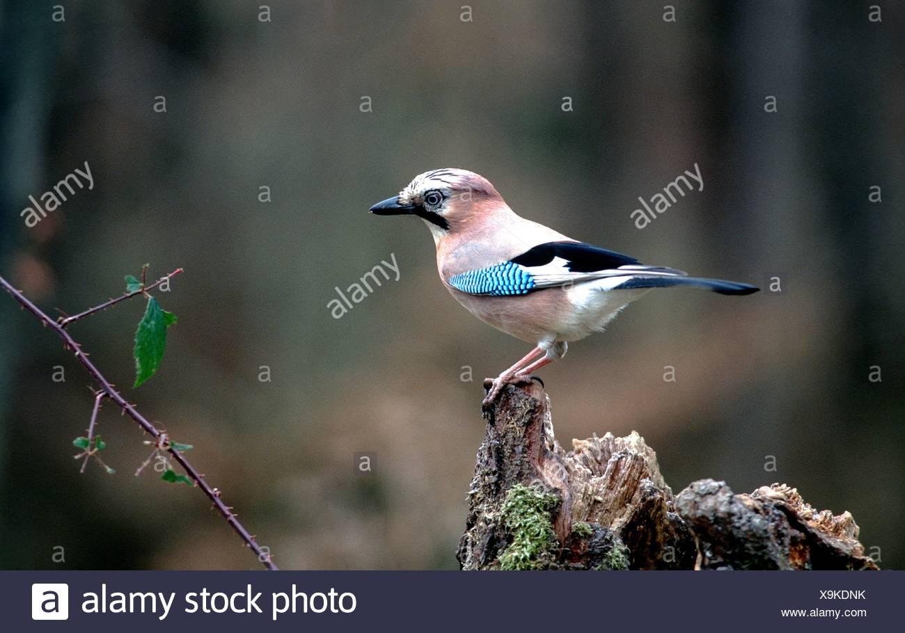 jay; songbird; Stock Photo