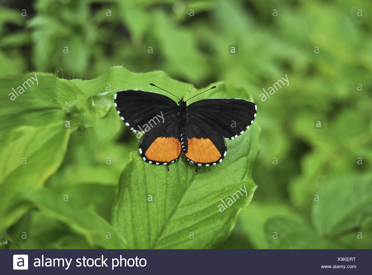 butterfly on a leaf, Pune, Maharashtra, India - Stock Image