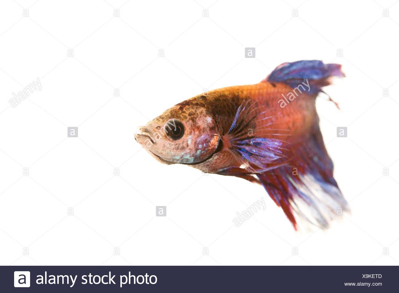 Siamese Fighting Fish, male (Betta splendens) - Stock Image