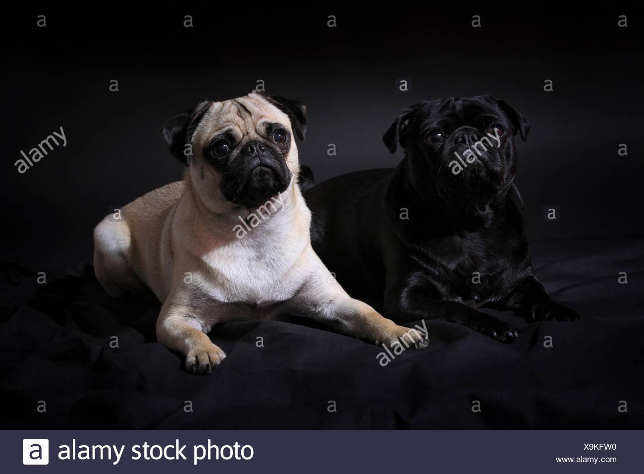 2, domestic animal, pet, dog, dogs, pugs, fatties, mops, pugs, fatties, pair, couple, portrait, couple, four-legged, animal, bei - Stock Image