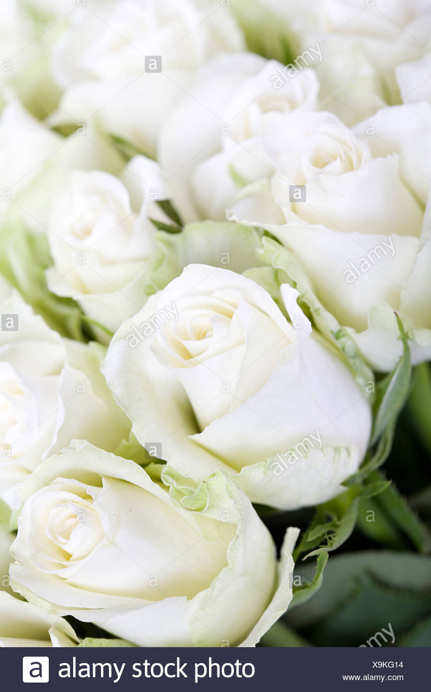 White roses  background with soft focus - Stock Image