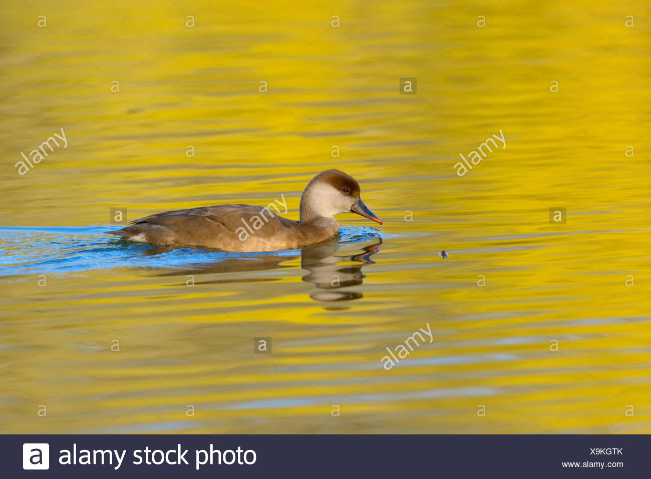 Feral domestic duck, duck (Anatidae) in water, golden light, evening light, Bavaria, Germany - Stock Image