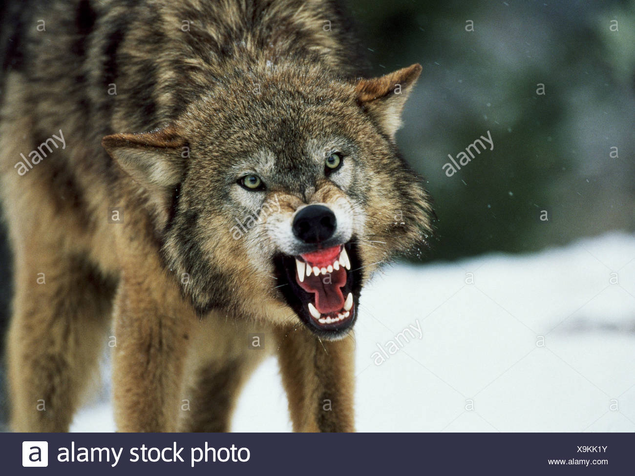 Snarling Gray Wolf - Stock Image