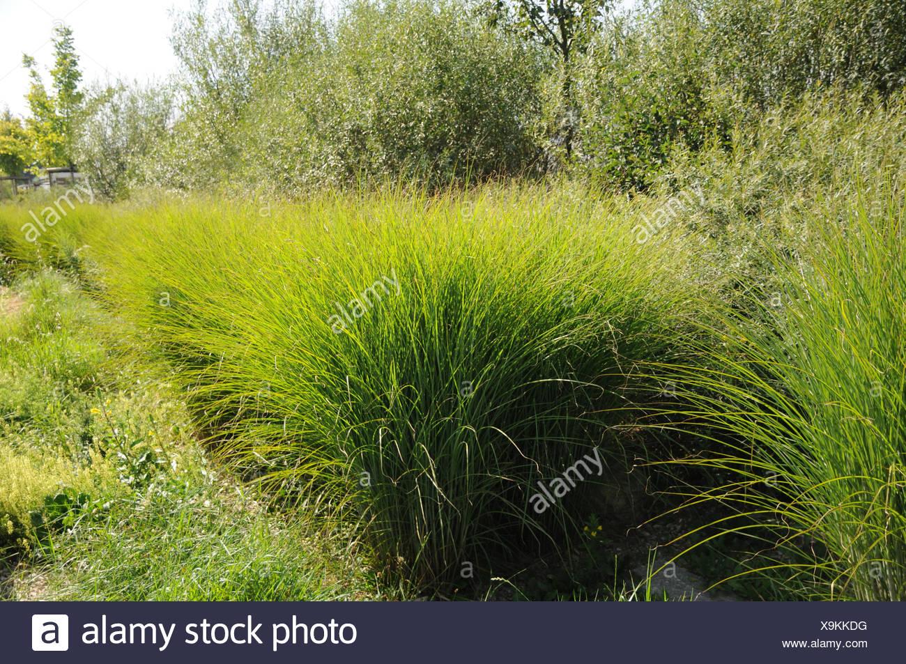 Chinese Silver Grass Stock Photo Alamy