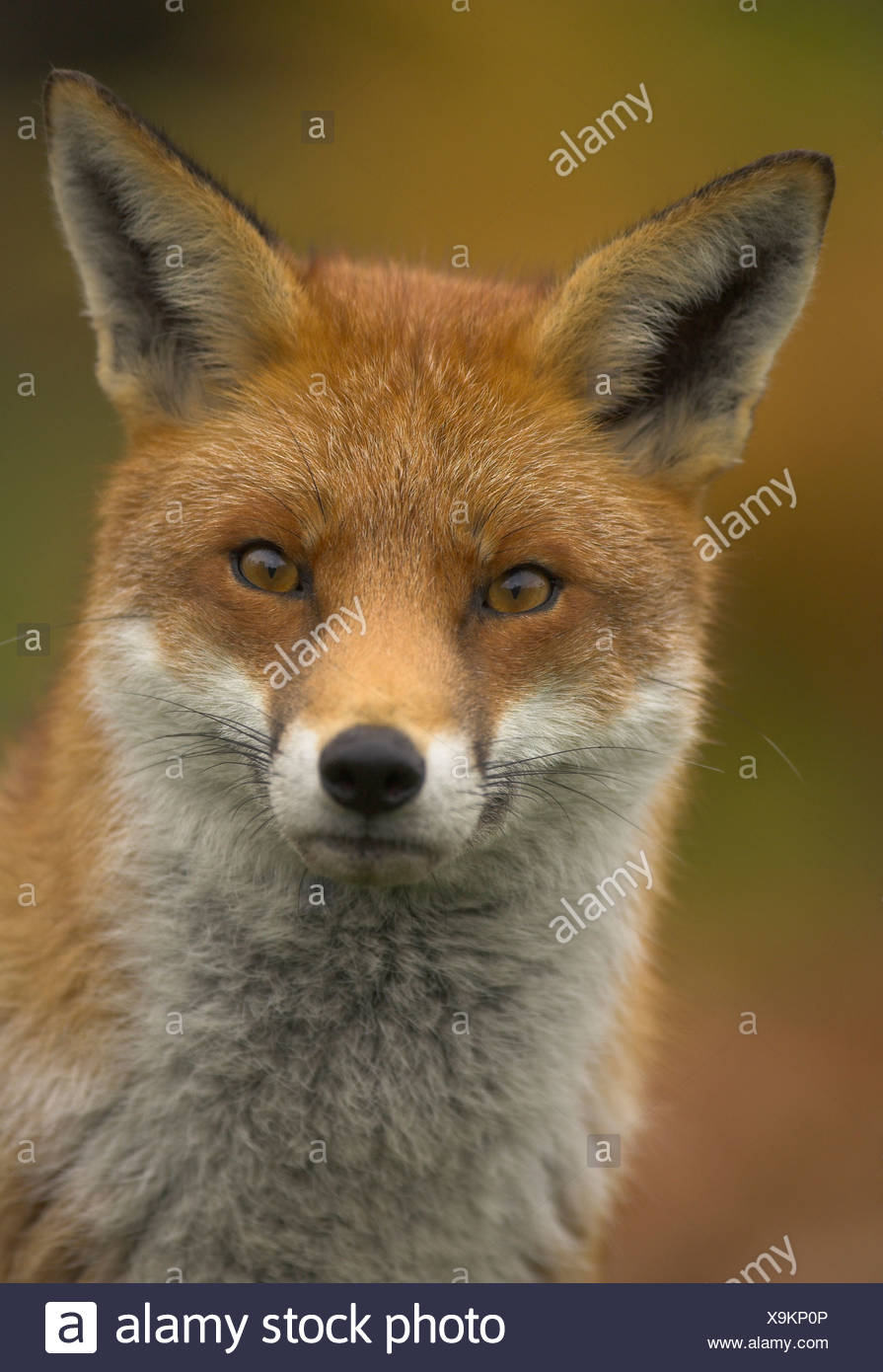 Red fox (Vulpes vulpes) closeup in autumn - Stock Image