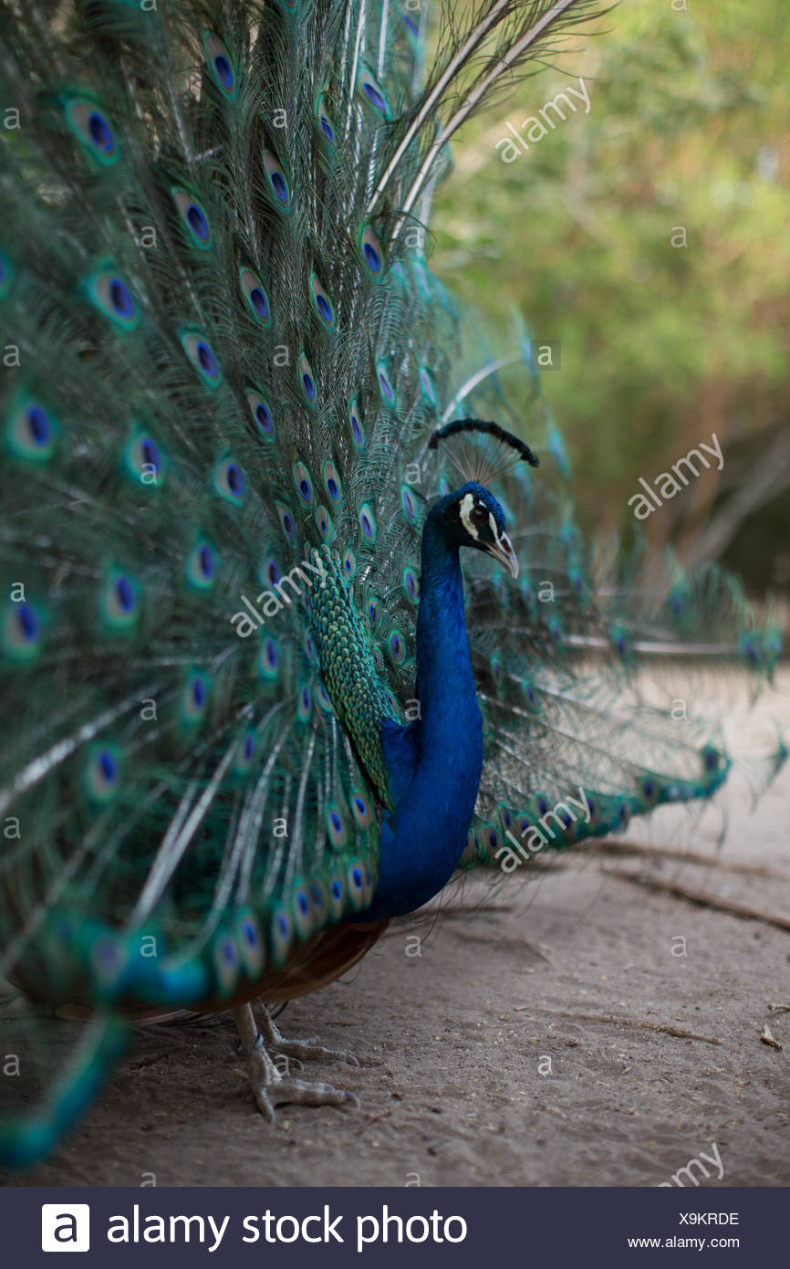 A male peacock, Pavo muticus, with fanned out feathers at Colombia's National Aviary. - Stock Image