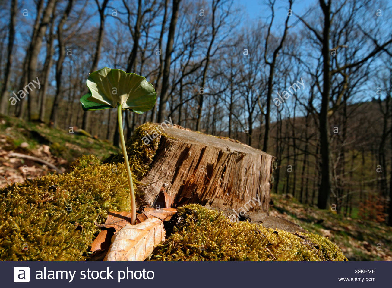 Beech Seedling in front of a stump in a forest - Stock Image