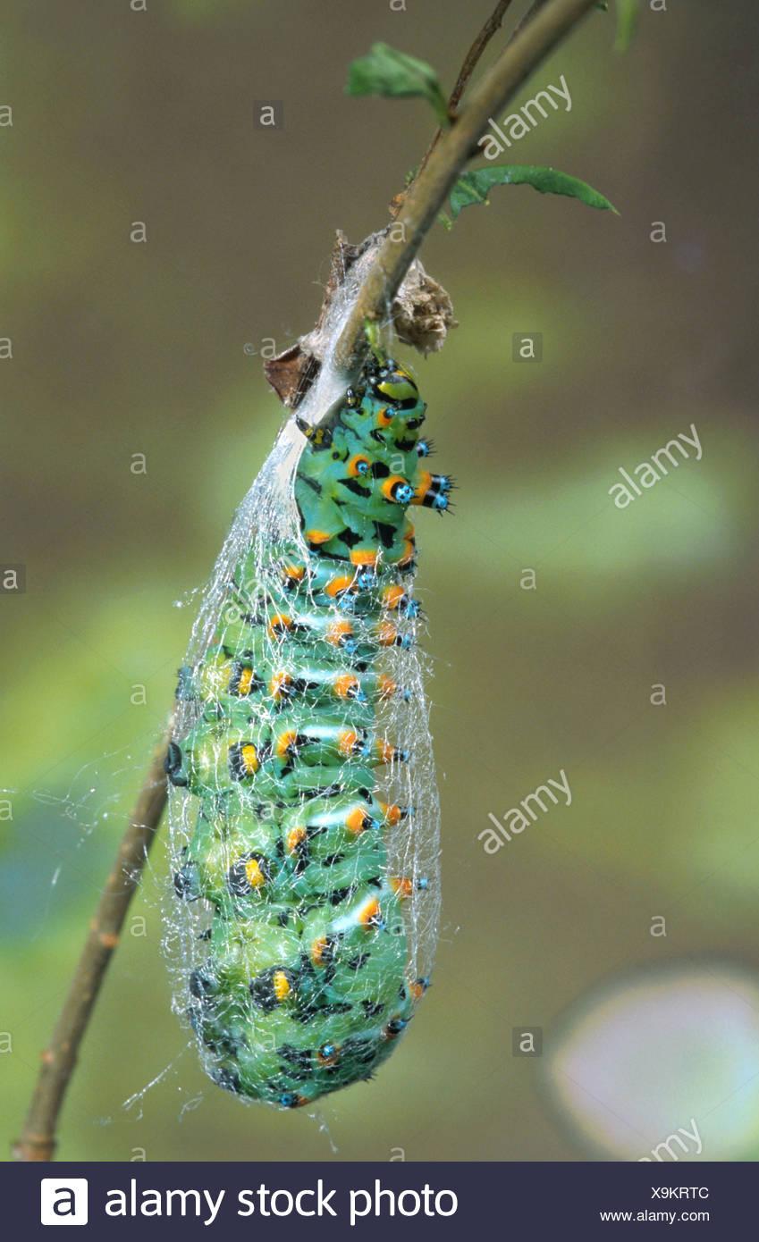 Read Australia caterpillar found giant xxx consider