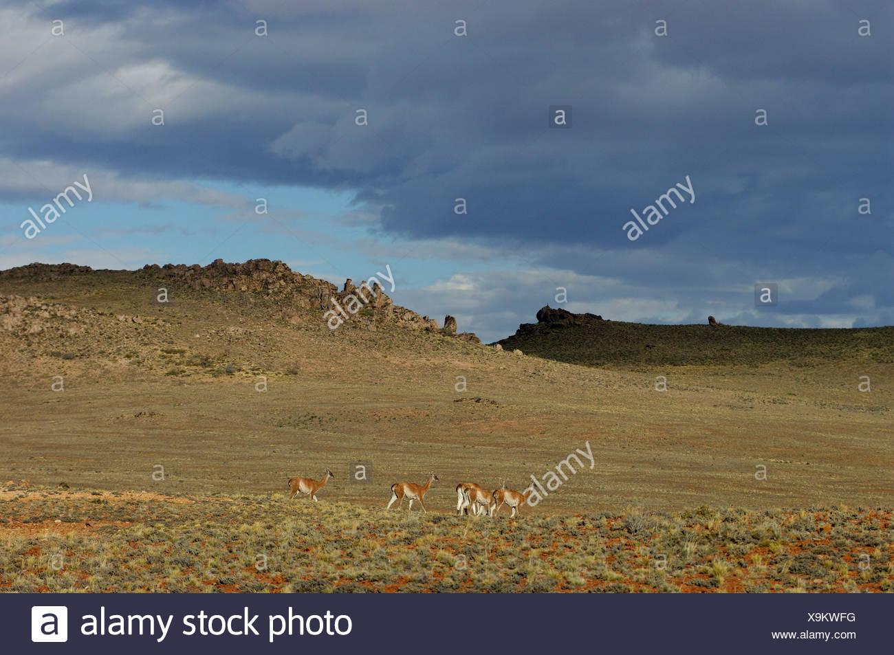 Guanaco Lama guanicoe near Estancia la Maria Patagonia Argentina South America - Stock Image
