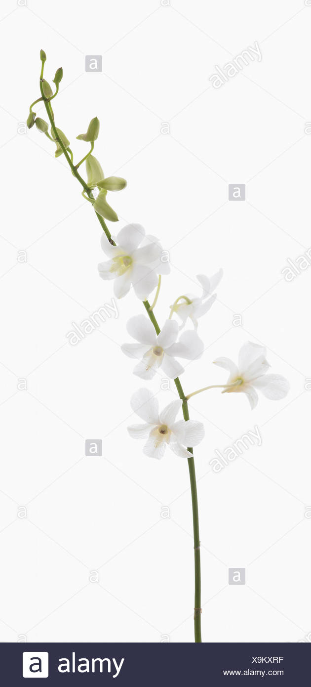 White flowers on single stem against a white background cutout stock dendrobium living dreams white orchid white flowers and buds on single stem mightylinksfo
