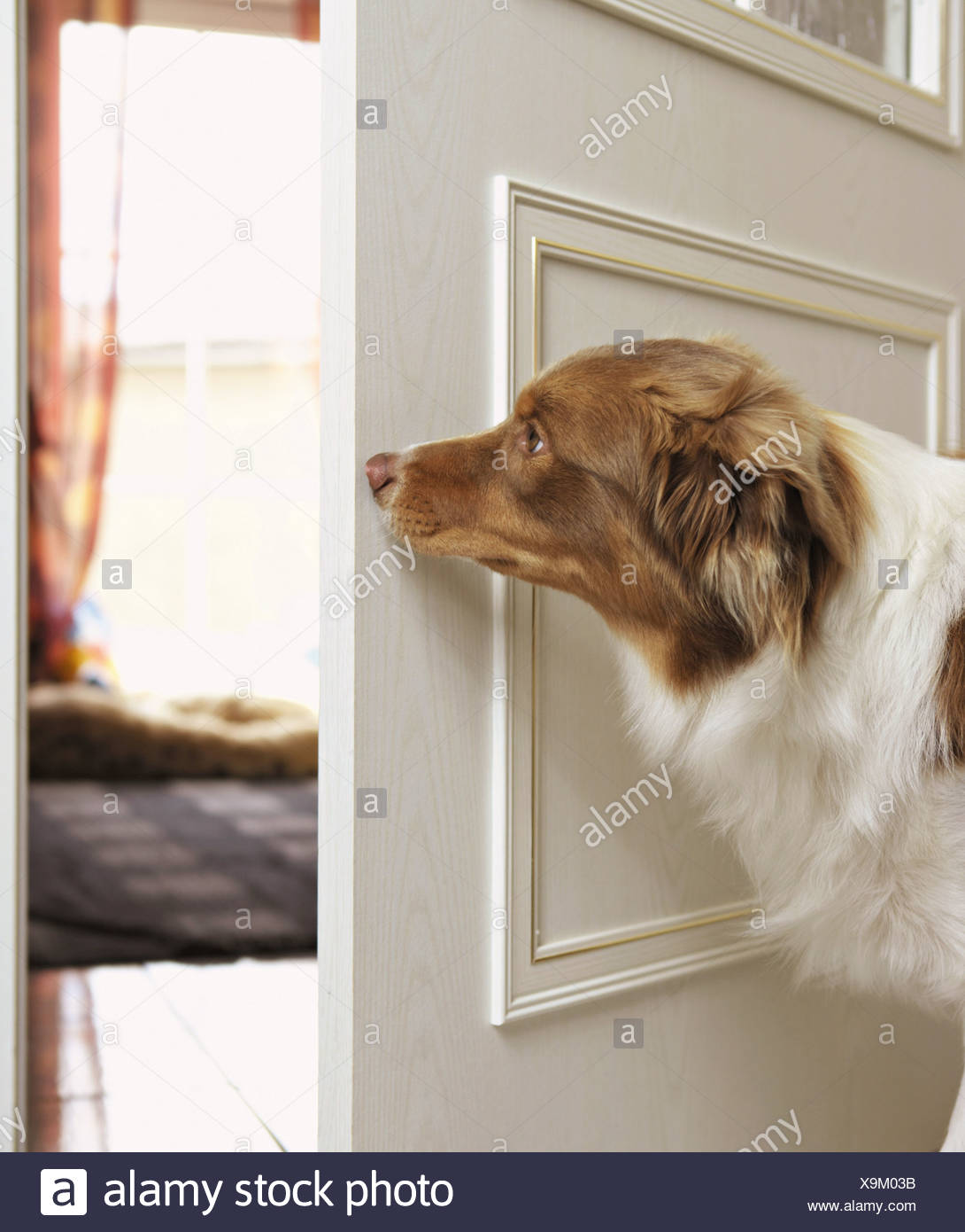 Australian Shepherd dog - standing behind the door - Stock Image