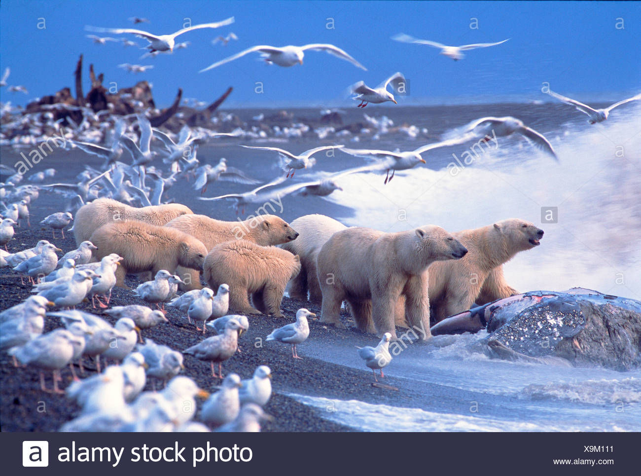 Polar Bears (Ursus maritimus) gather around Gray Whale Carcass, surrounded by Glaucous Gulls. North Slope, Alaska. - Stock Image