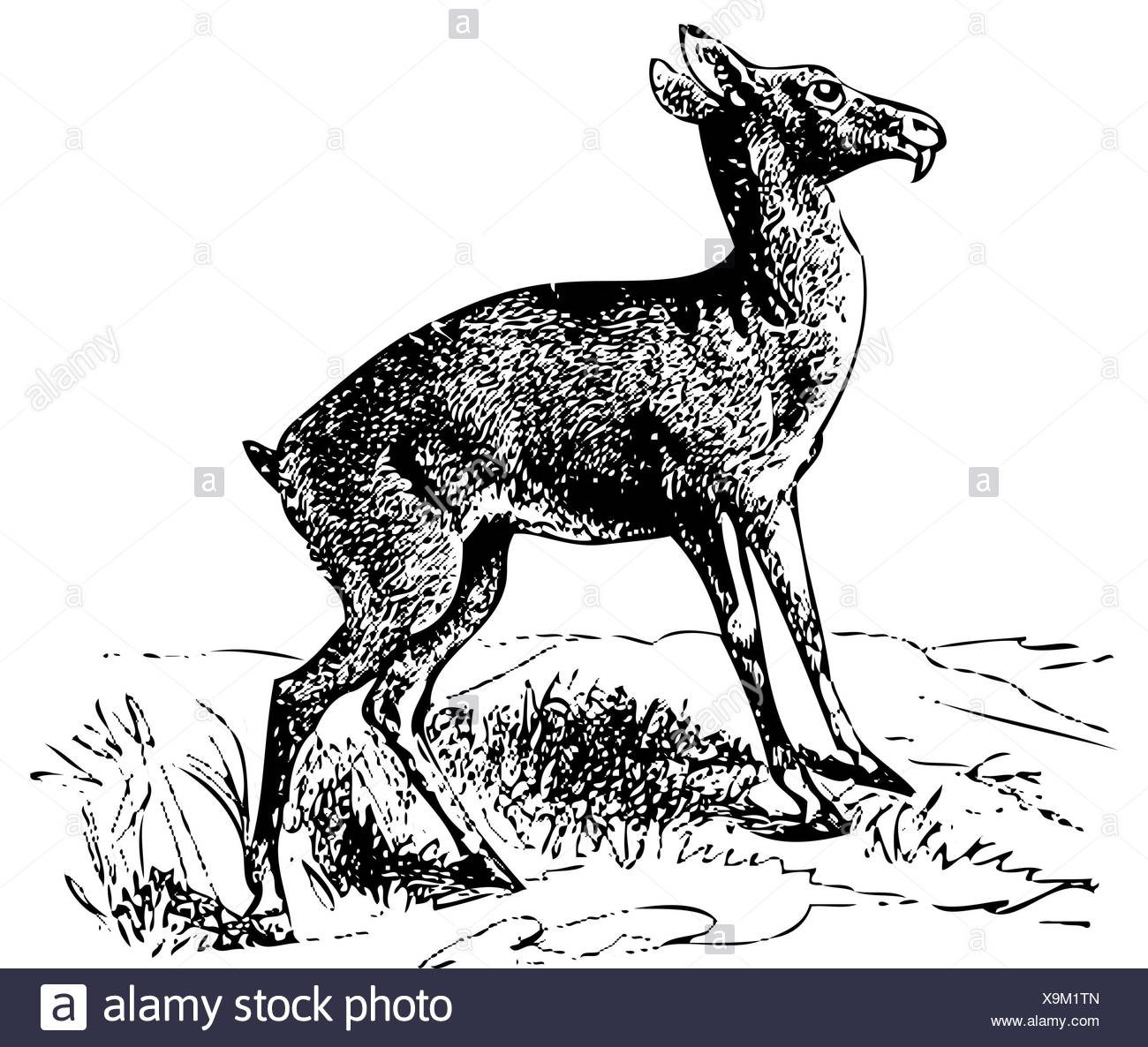 Old engraved illustration of a Siberian musk deer or moschus moschiferus, isolated on white  Live traced  From the Trousset encyclopedia, Paris 1886 - Stock Image