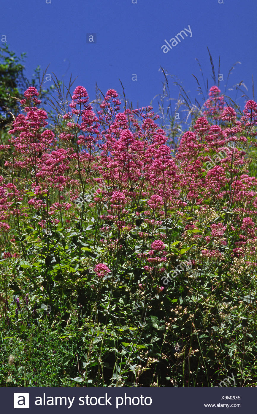 centranthus ruber,red valerian Stock Photo