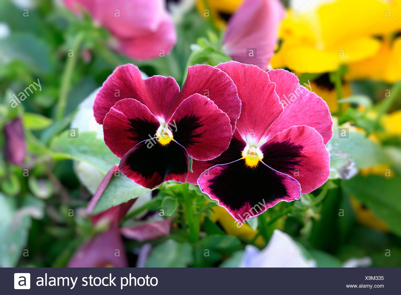 Horned Pansy (Viola cornuta), Germany, Europe - Stock Image