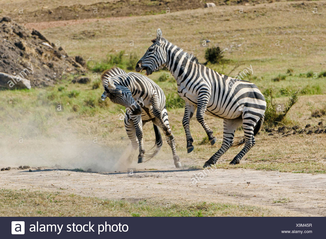 Zebras (Equus quagga), stallions fighting, Maasai Mara National Reserve, Narok County, Kenya Stock Photo