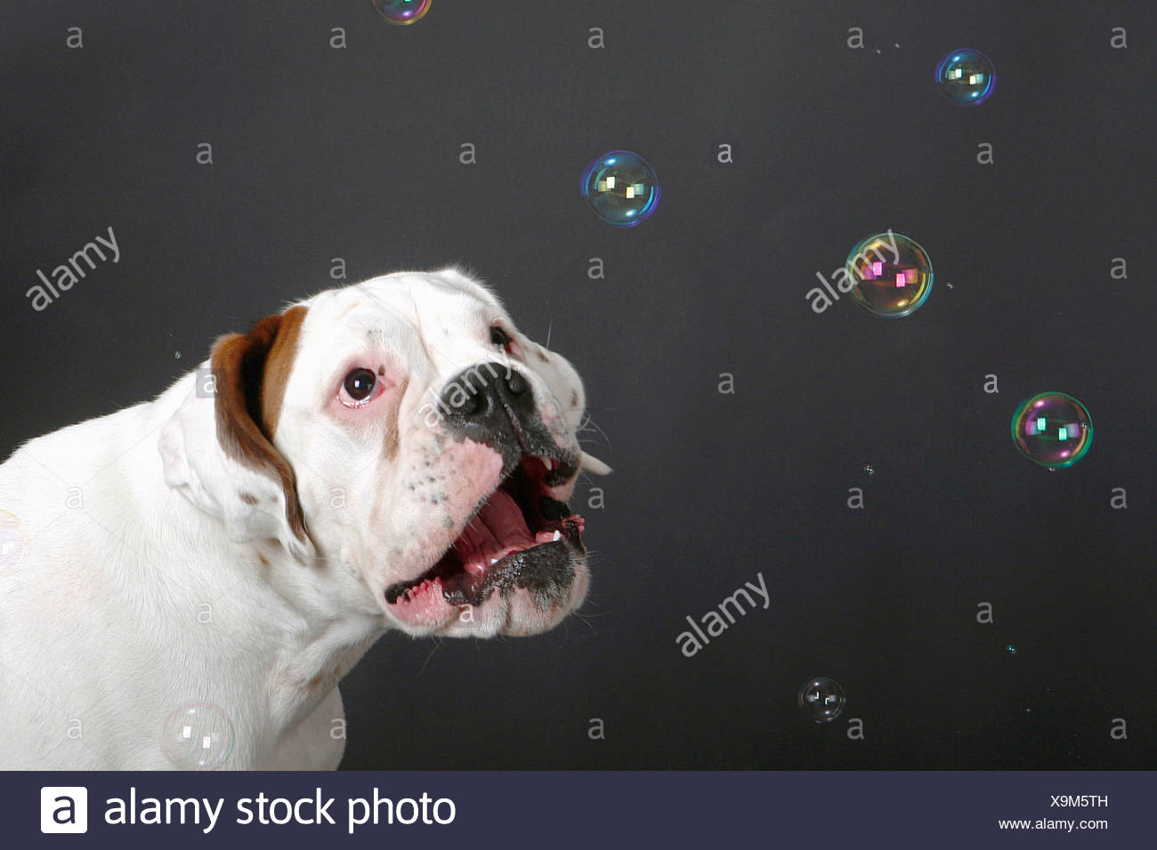 white Boxer - watching bubble soaps Stock Photo