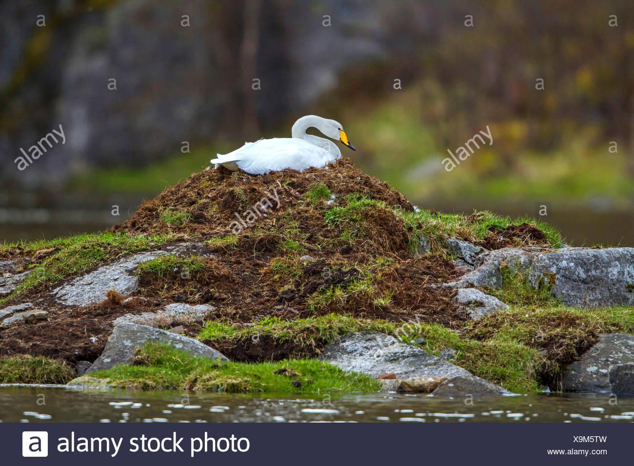 Singschwan, Sing-Schwan (Cygnus cygnus), bruetet, Norwegen, Lofoten | whooper swan (Cygnus cygnus), breeds, Norway, Lofoten Isla Stock Photo