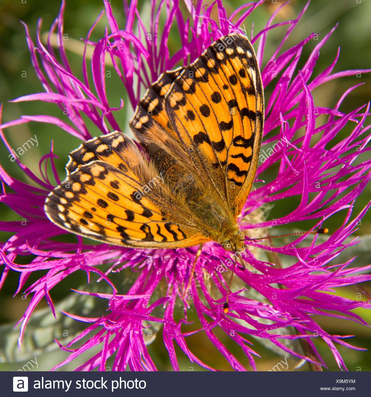Nymphalidae on Centaurea flowers - Alpes France - Stock Image