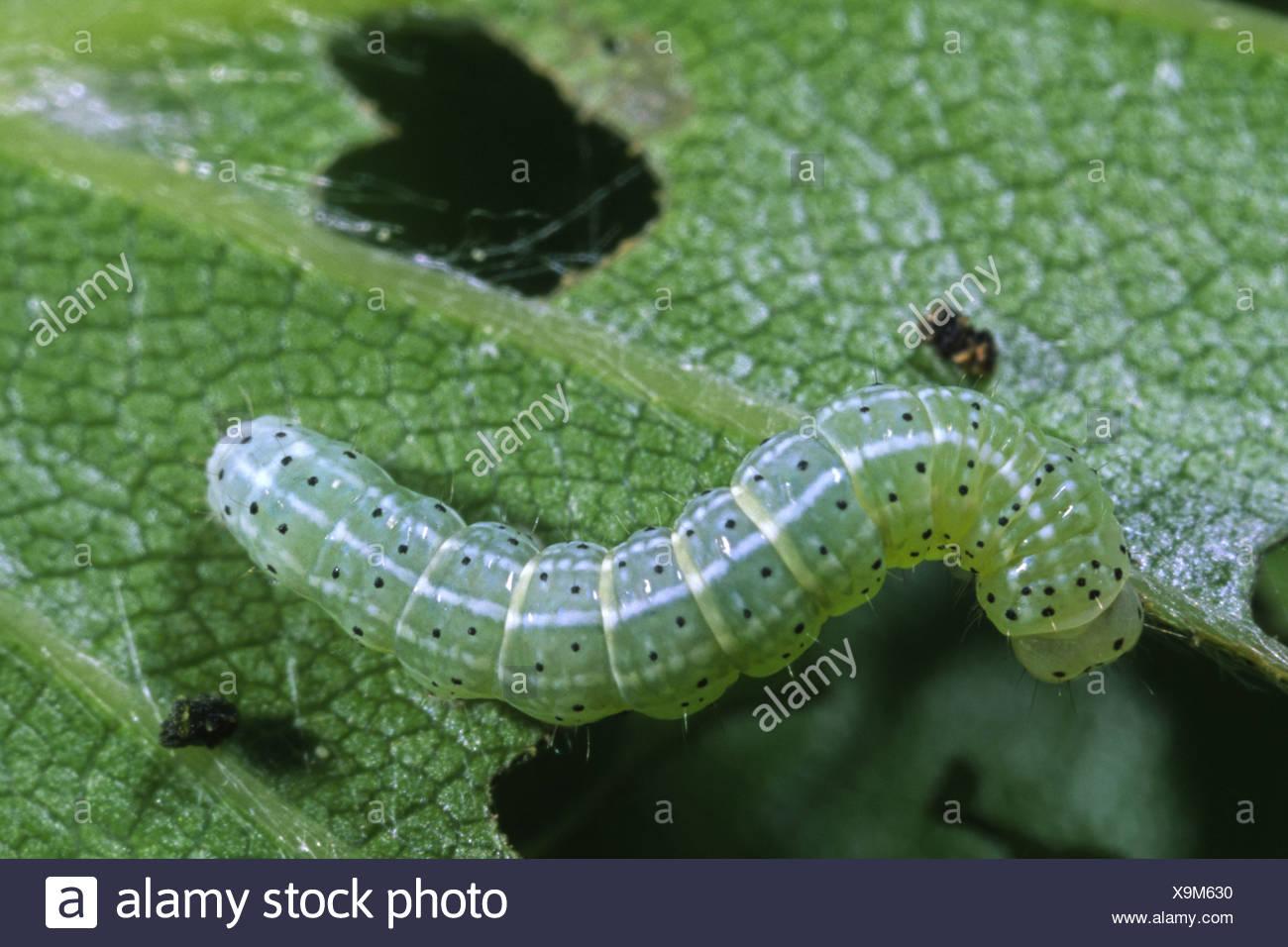 Orthosia gothica hebrew character larva larvae caterpillar insect bug nature natural wild wildlife environment environmental - Stock Image