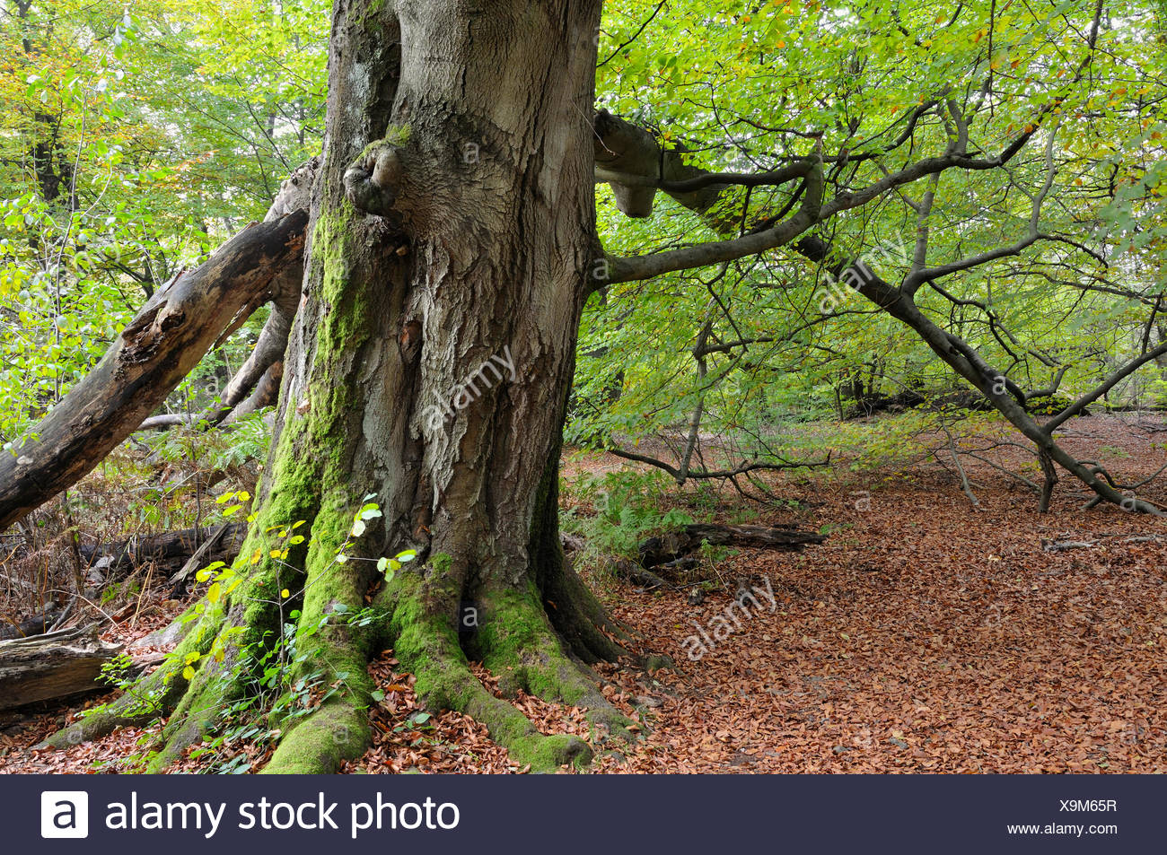 common beech (Fagus sylvatica), mossy trunk of a beech in Urwald Sababurg, Germany, Hesse - Stock Image